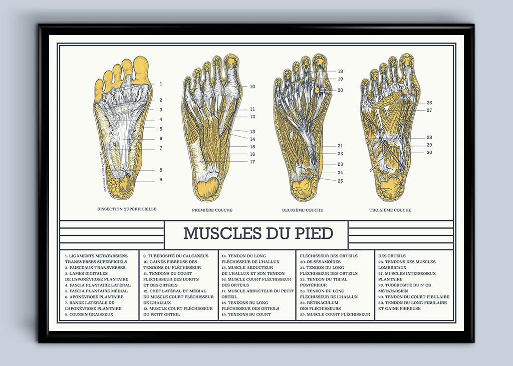 planche anatomique muscles