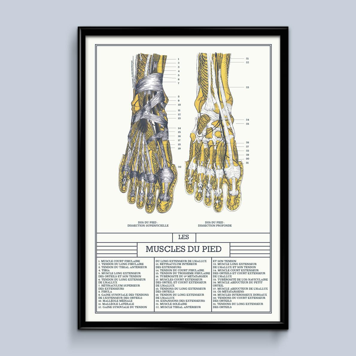muscles du pied, planche scientifique
