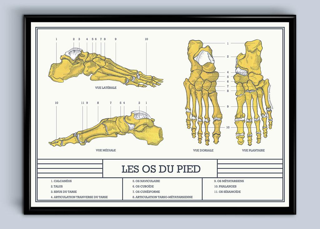 Planche anatomique les os du pied
